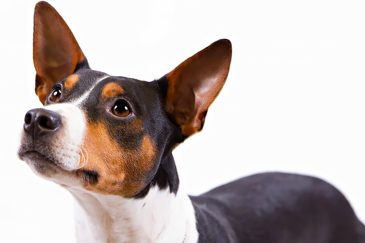 Rat Terrier Appearance and Vital Stats