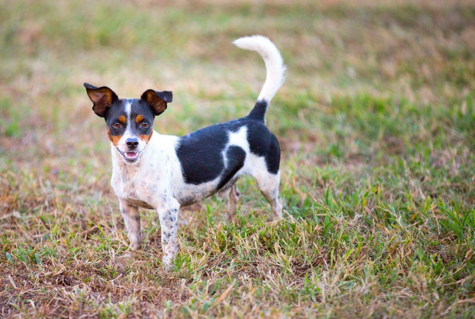 Rat Terrier General Appearance