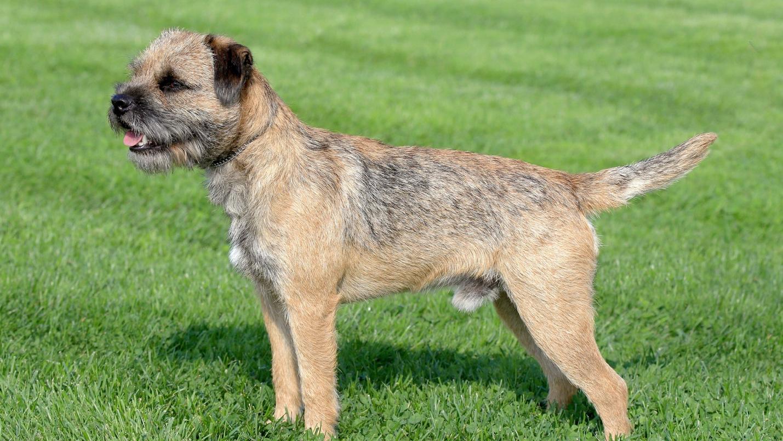 Border Terrier – Alert, Loving, Even-Tempered