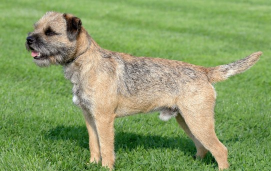 Border Terrier – Alert, Loving, Even-Tempered