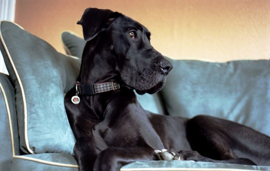 Best Large Breeds for Apartments