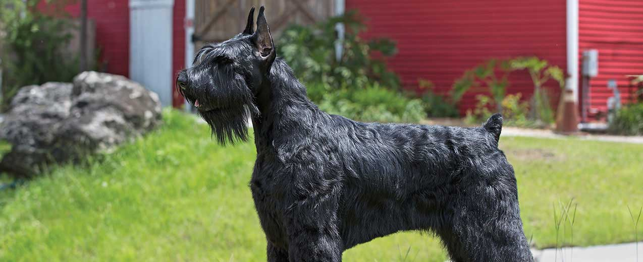 Giant Schnauzer General Appearance