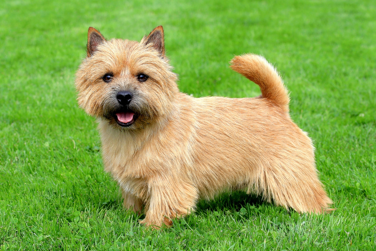 Norwich Terrier Easy-To-Train Apartment Dog
