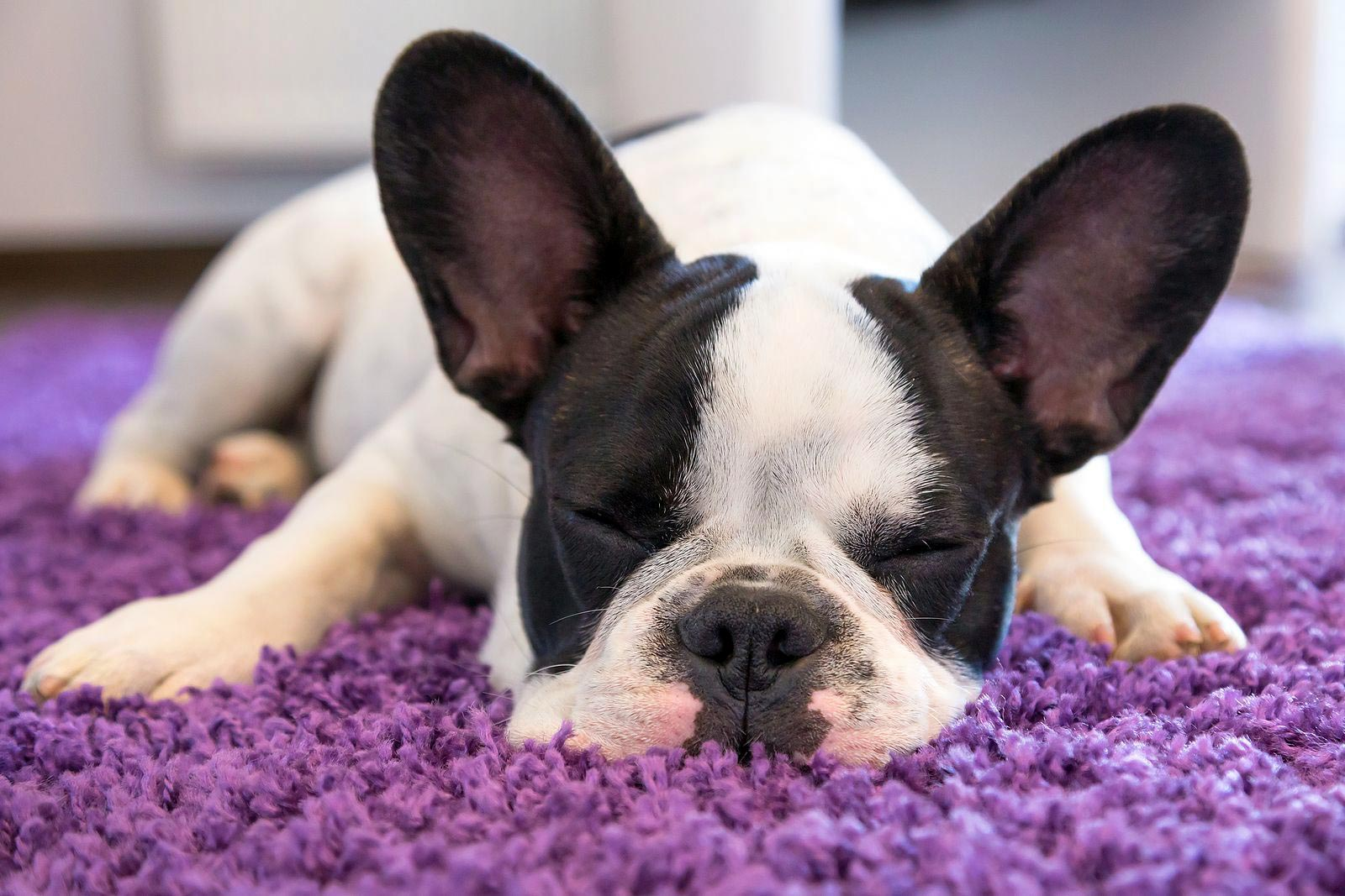 Best Low-Energy Apartment Dogs