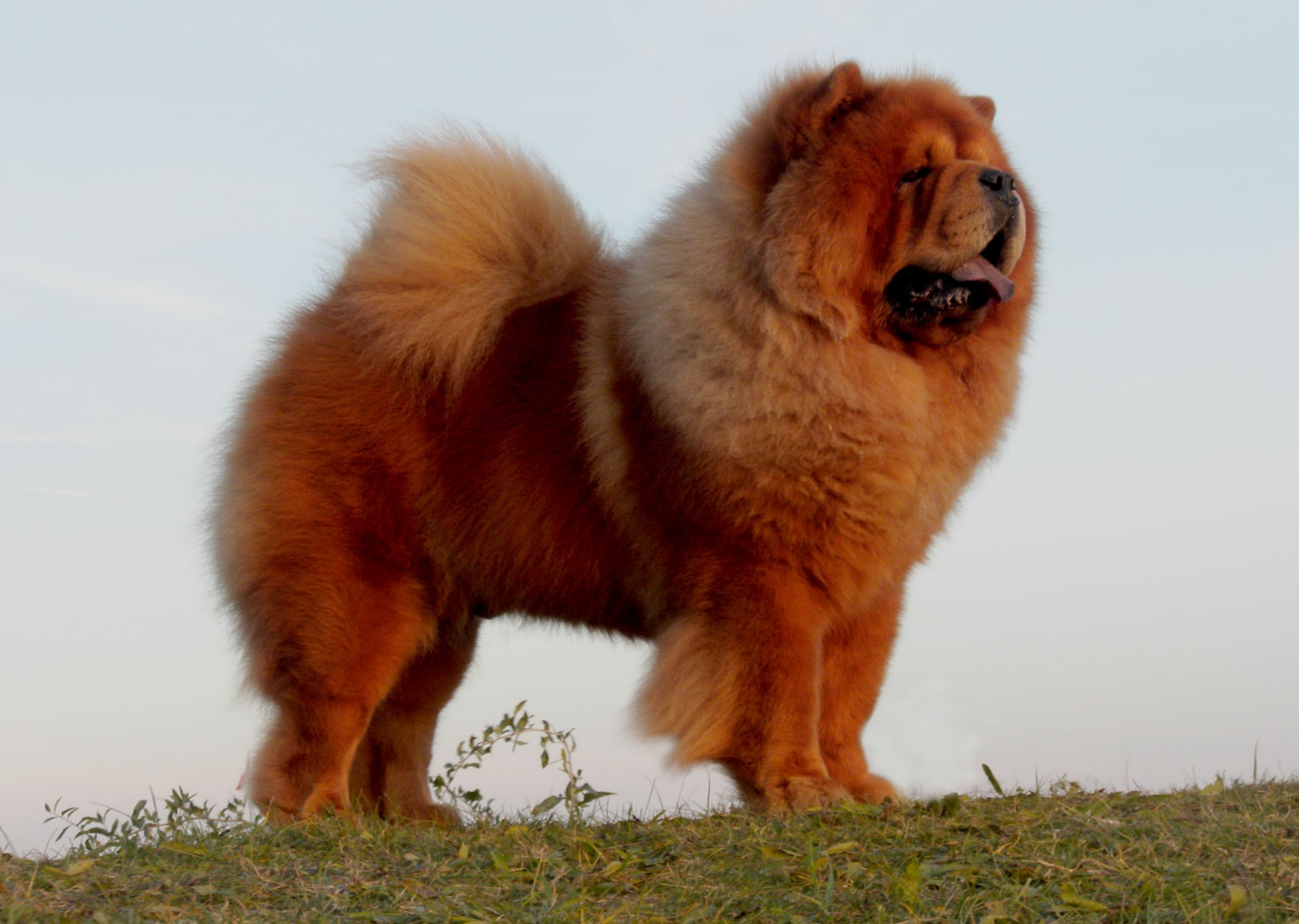 Chow Chow – An ancient, distinctive breed with a big personality