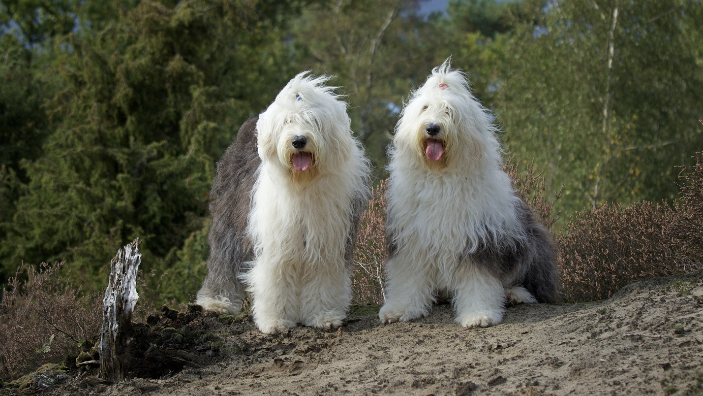 Old English Sheepdog Coat and Colors