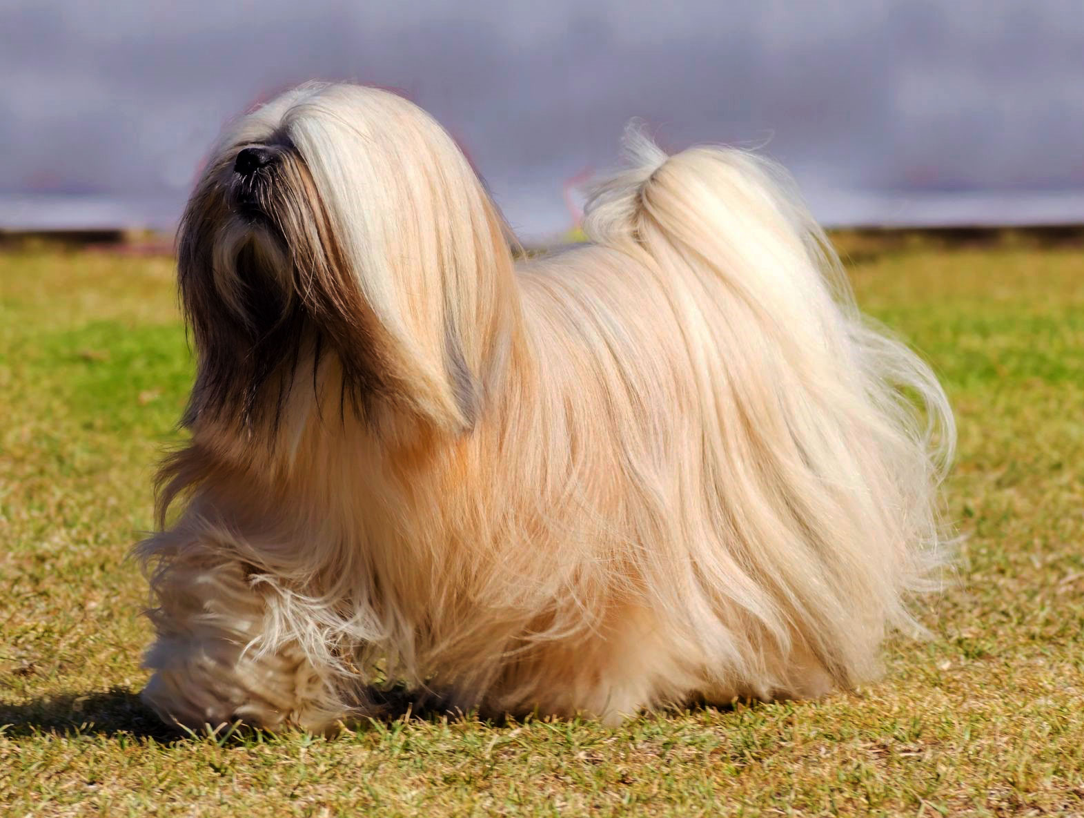 Lhasa Apso – An intelligent, confident breed with a playful side