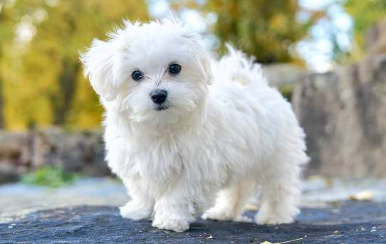 Maltese – A small, friendly breed with a rich history