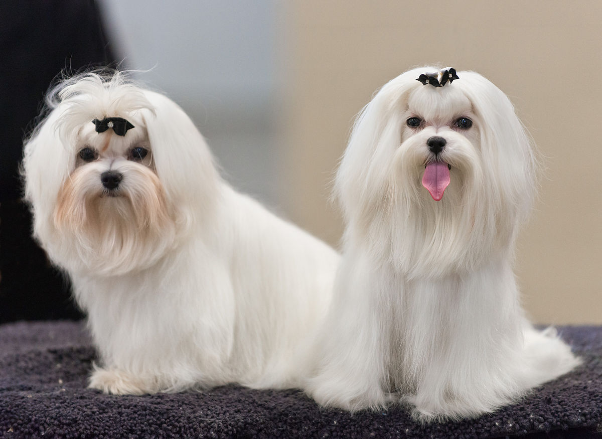 Maltese Coat and Colors