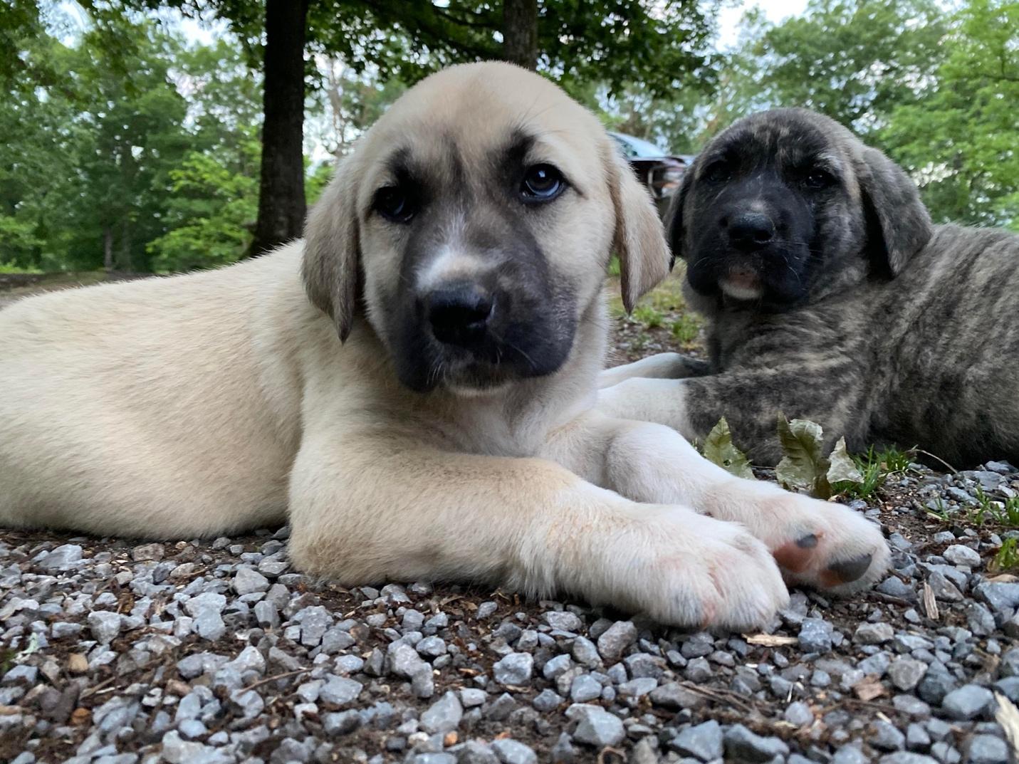 Turkish Boz Shepherd Children and Other Pets