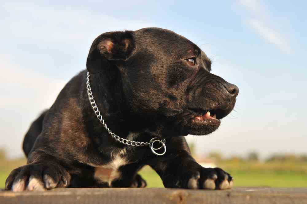 What Is a Black Pitbull?