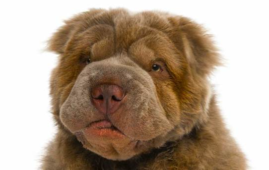All About the Bear Coat Shar-Pei