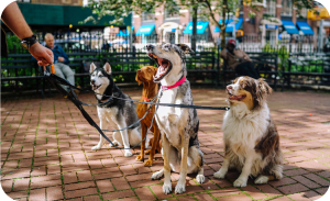 dog walking business with multiple dogs