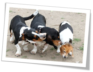 basset Hound dog play