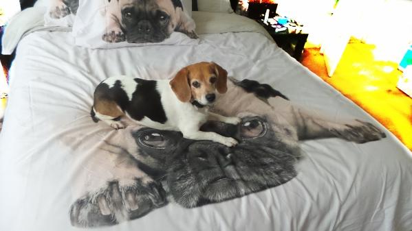 pug duvet with beagel