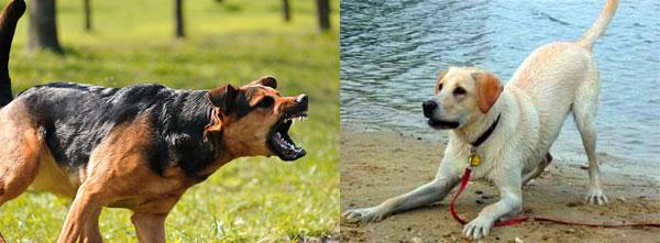 body language agressive vs playful