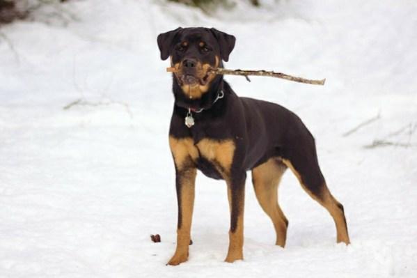 Rottweiler manliest dog