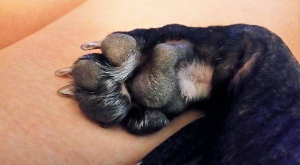 french bulldog paw toes
