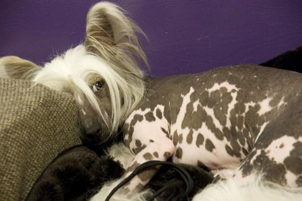 dog fur types hairless