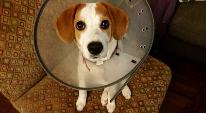 animal hospitals beagle