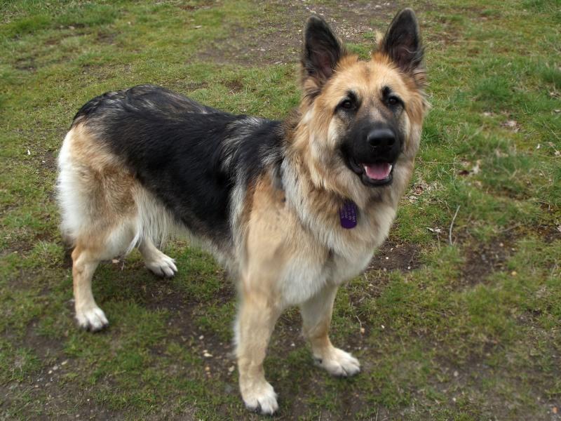 dog breeds german