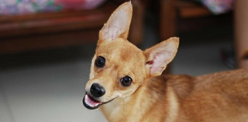 Hypoallergenic Dog 3