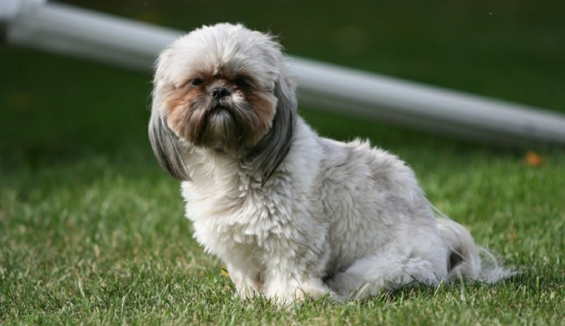 small dog Shih Tzu