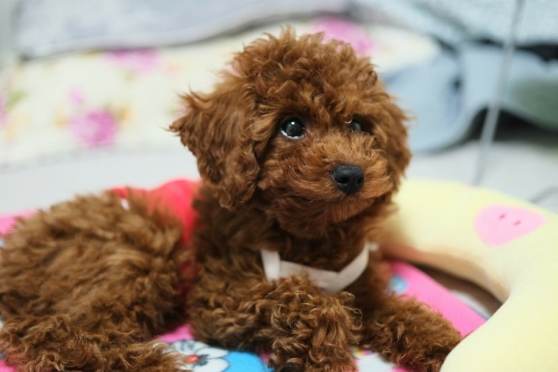 small dog poodle