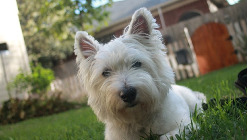 small size Scottish Terrier