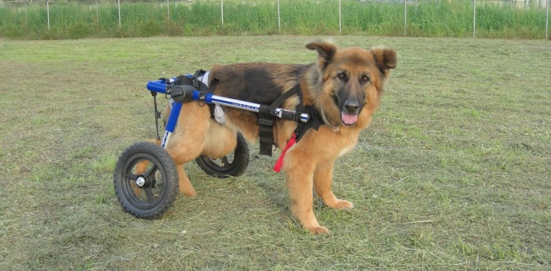 Handicapped Dog wheelchair