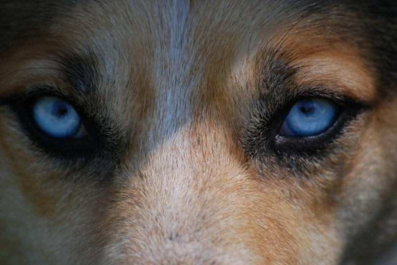 blue dog eyes