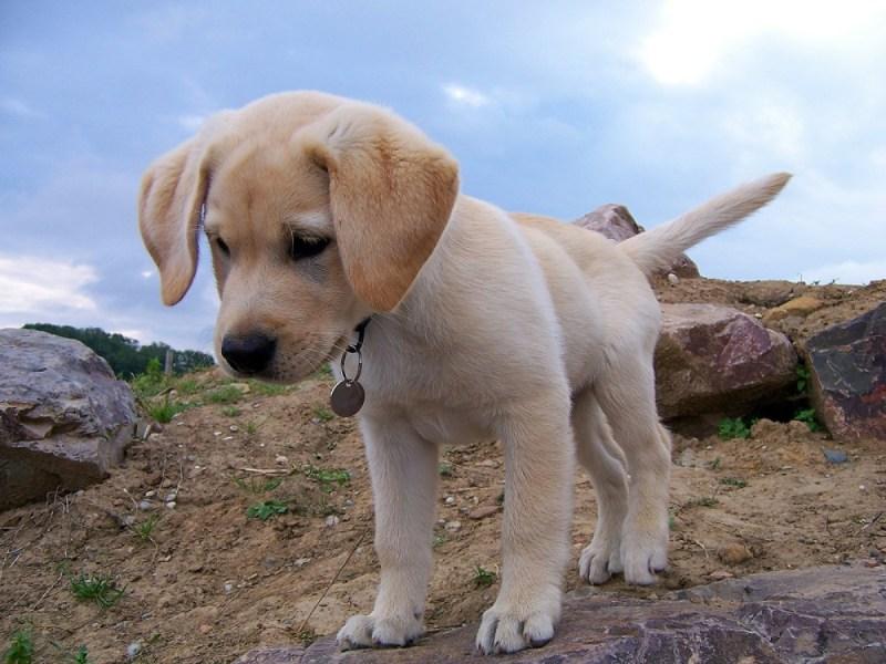 hip puppy lab