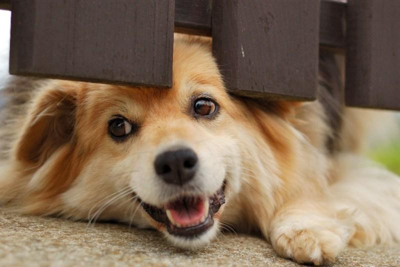 dog under fence