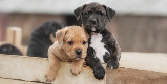 Staffordshire Terrier cover