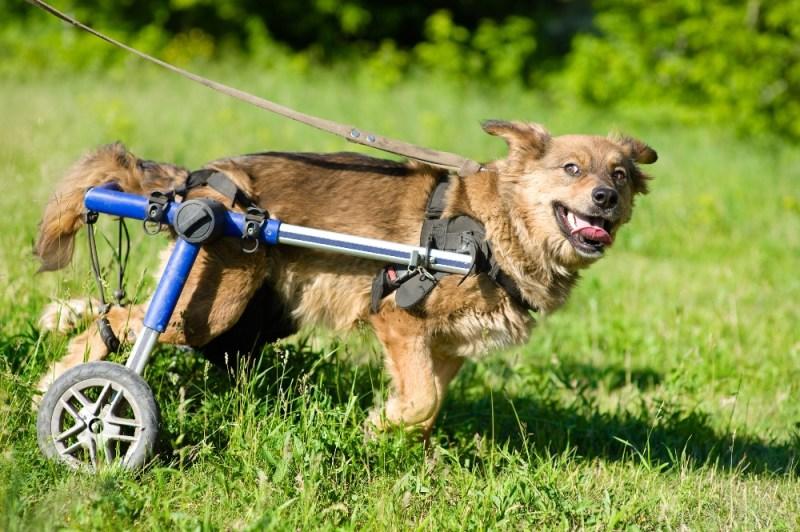 dog wheelchair running