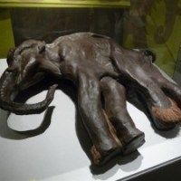 Noch bis 1.Mai 2011: Mammuts - Giganten der Eiszeit