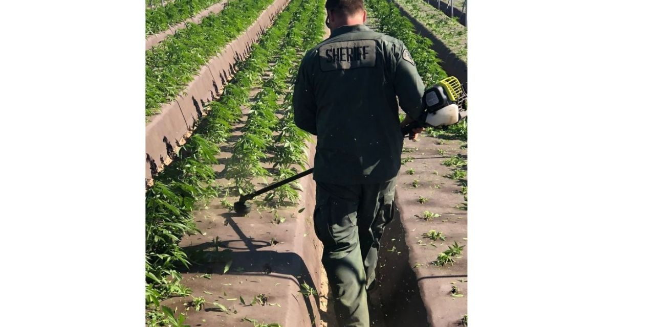 Bust of the day..Bust of the Week! Santa Barbara Police Destroy 400K Plants