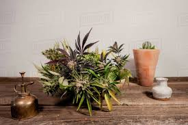 "UK: ""A search found drug paraphernalia, cannabis in small bags and three cannabis plants on the kitchen table."