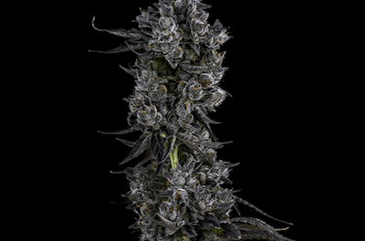 Emerald Cup… And the Winner Is ?