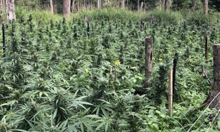 Australia – QLD: Man sentenced to six-and-a-half years over $20 million cannabis crop found north of Mackay