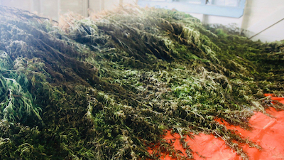 Fiji: More than $40 million worth of marijuana discovered and destroyed in Kadavu in the past week