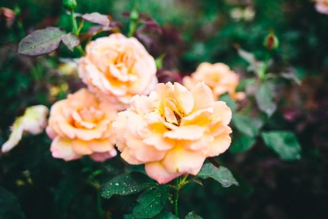 Wedding Style: Chicwish Embroidered Rose Dress, Chirstian Louboutin nude pumps - Waketon Road Blog