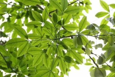 hevea-brasiliensis-tree