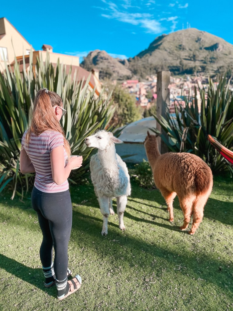feeding llamas in south america
