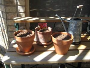 More zinnia seeds