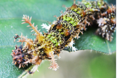 caterpillars, pests