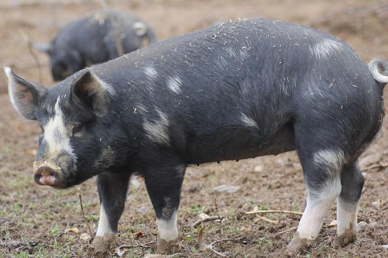 Berkshire Pig at 180lbs