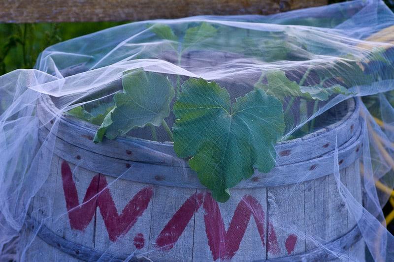 zucchini in a potato barrel