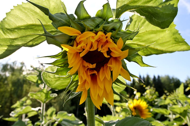 The benefits of Sunflowers in the Vegetable Garden
