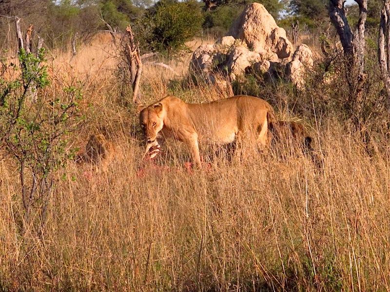 AA-lioness at kill copy